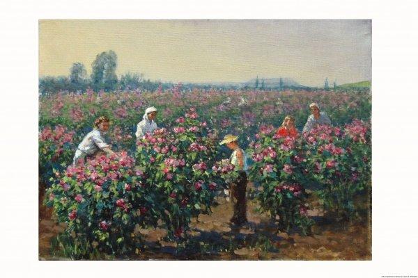 Соколов. Сбор розовых лепестков